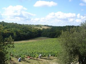 Vineayrd work in the Sauvignon