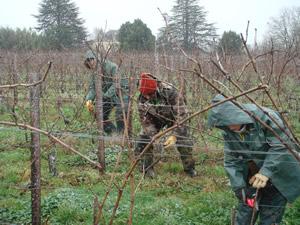Vineyard work in the vines