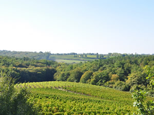 Bauduc Vineyard